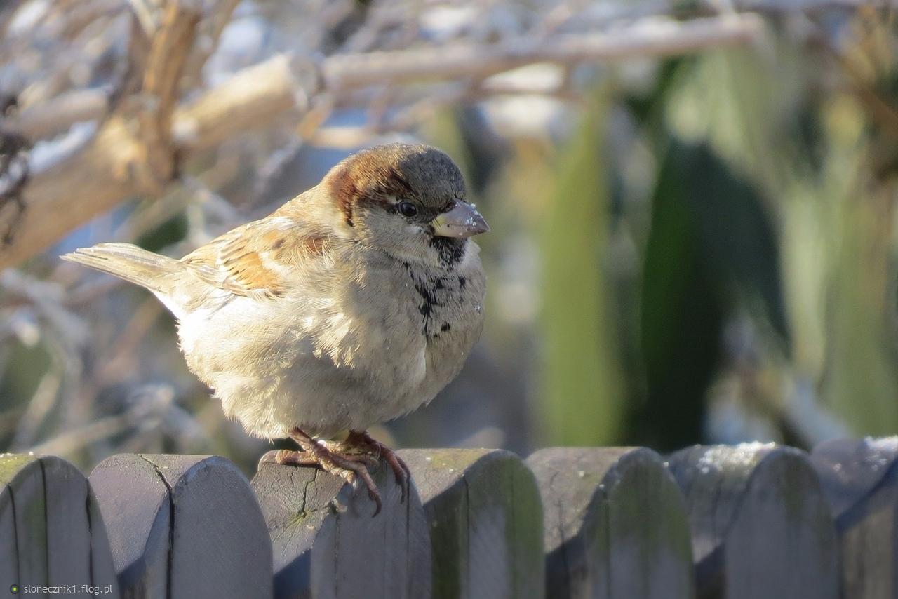 """""""Wróbelek jest mała ptaszyna ...""""  przysiadł ... żal było zdjęcia mu nie zrobić ..."""