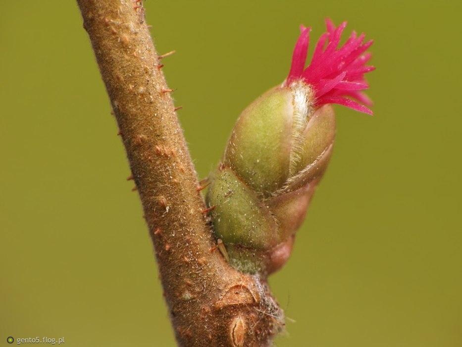 Kwiatostan żeński leszczyny