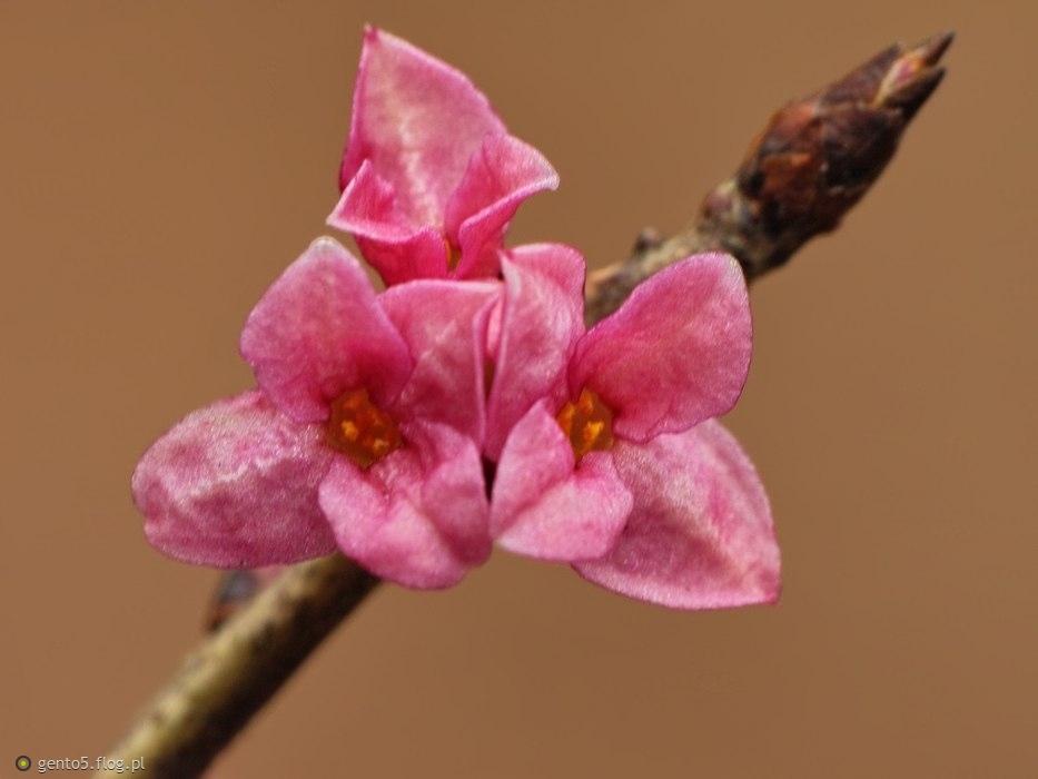Wawrzynkowe kwiaty