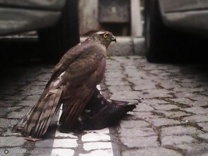 Miejski ptaszek