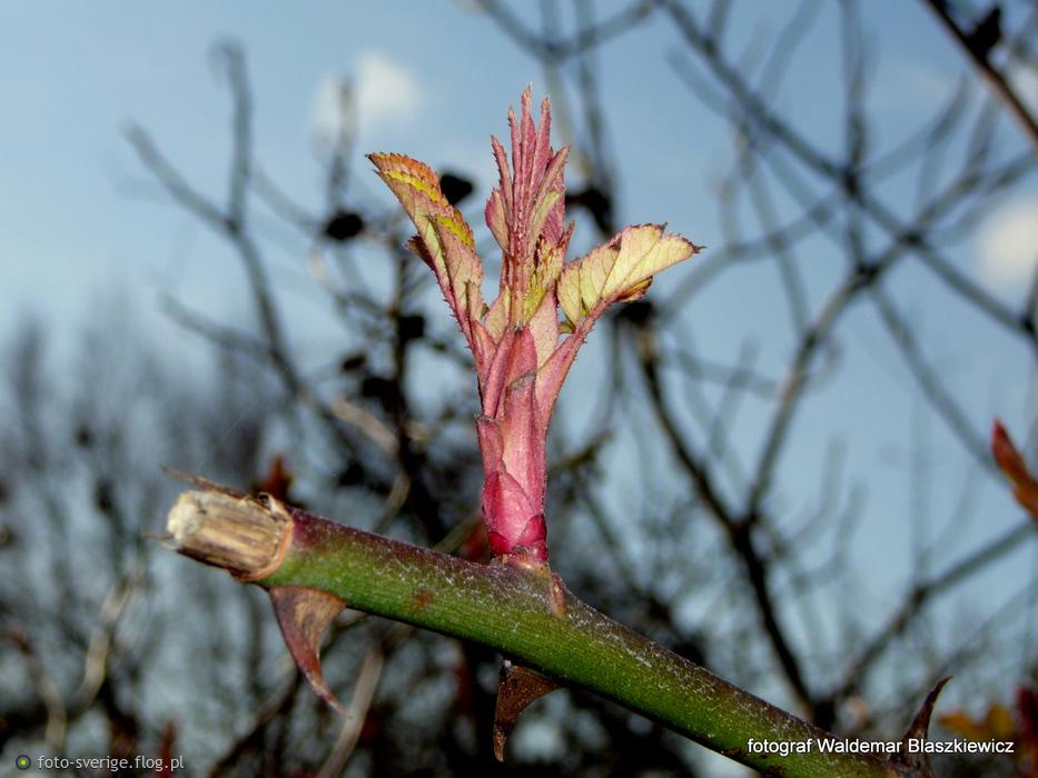 21 marca -szwedzki pierwszy dzien wiosny