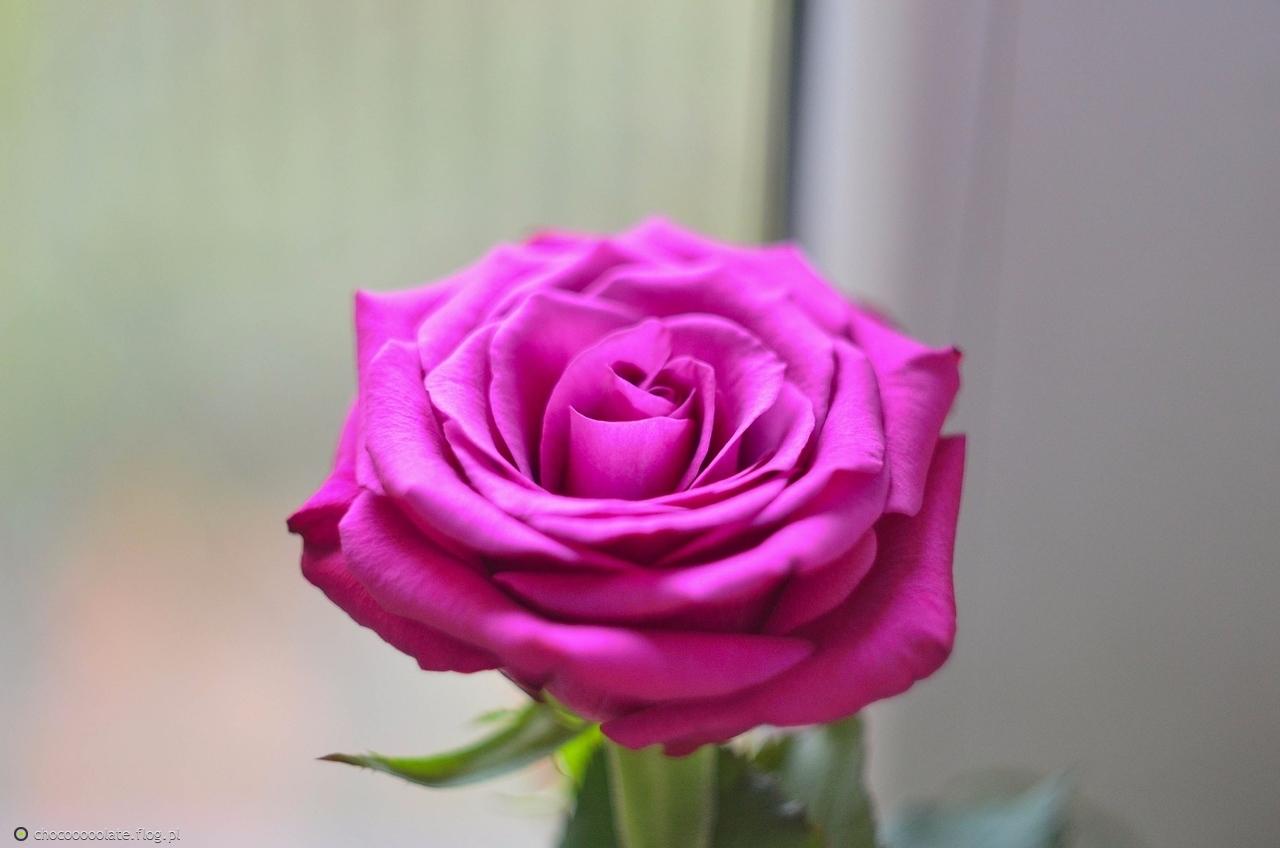 róża ..