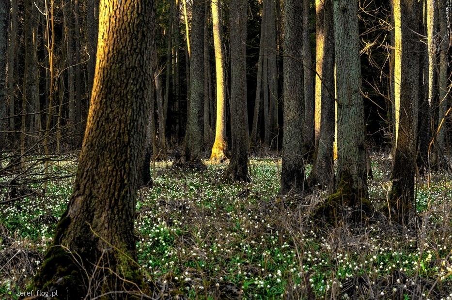 Las wróżek