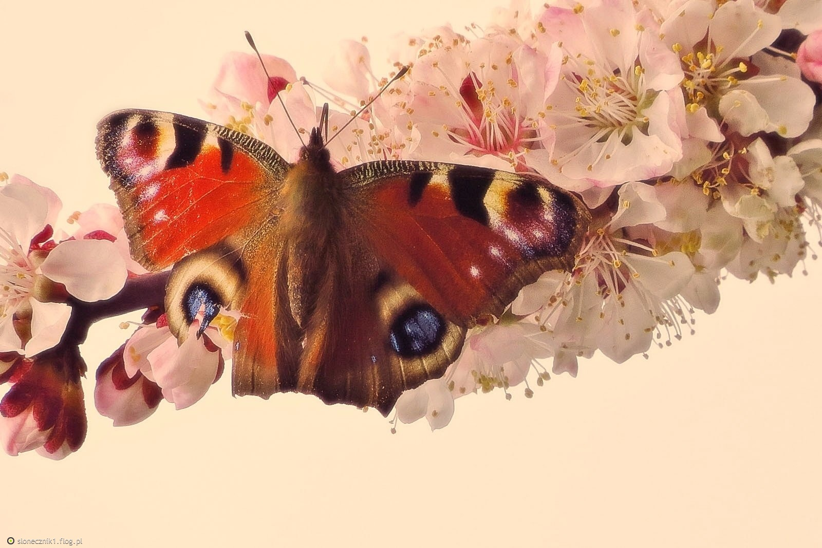 kolory wiosny ... pawik