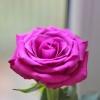 róża ..  ::