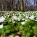 Zawilcowy zawrót głowy :)<br />  :: Wiosennie w lesie :)