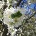 Kwiaty. :: Dziś tak wiosennie, mimo <br />że zimno (mróz dziś był!)<br />. Zdjęcie telefonem ale w<br />yjątkowo piękne.